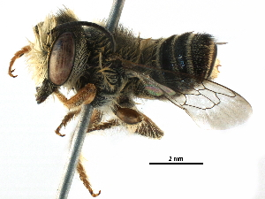 (Megachile KEN06 - 06736C02-KEN)  @14 [ ] CreativeCommons - Attribution Non-Commercial Share-Alike (2016) BIO Photography Group Biodiversity Institute of Ontario