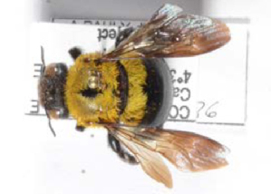 (Xylocopa olivacea - CCDB-22790 A05)  @12 [ ] PCYU (2014) Unspecified York University