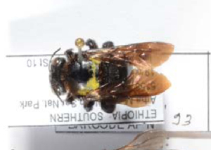 (Xylocopa sp. aff olivacea - CCDB-22790 A09)  @11 [ ] PCYU (2014) Unspecified York University