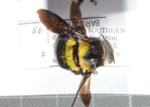 (Xylocopa somalica - CCDB-22790 C11)  @12 [ ] PCYU (2014) Unspecified York University