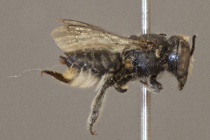 (Megachile timberlakei - CCDB-22790 D01)  @13 [ ] PCYU (2014) Unspecified York University