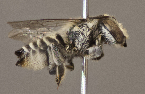 (Megachile timberlakei - CCDB-22790 D03)  @13 [ ] PCYU (2014) Unspecified York University