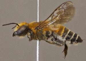 (Megachile umbripennis - CCDB-22790 E02)  @11 [ ] PCYU (2014) Unspecified York University