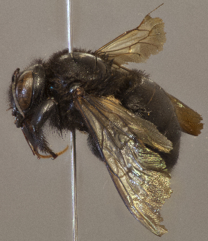 (Xylocopa brasilianorum sonorina - CCDB-22790 F05)  @11 [ ] PCYU (2014) Unspecified York University