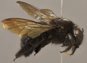 (Xylocopa brasilianorum - CCDB-22790 F07)  @11 [ ] PCYU (2014) Unspecified York University