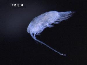 (Pseudocalanus minutus - BIOUG00343-B03)  @13 [ ] CreativeCommons - Attribution Non-Commercial Share-Alike (2013) Rob Young Biodiversity Institute of Ontario