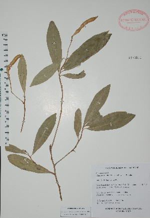 (Capparis indica - Alvarez10289)  @11 [ ] Unspecified (default): All Rights Reserved  Unspecified Unspecified
