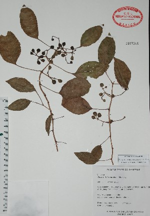 (Cissus biformifolia - Alvarez3459)  @11 [ ] Unspecified (default): All Rights Reserved  Unspecified Unspecified