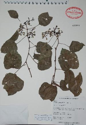 (Cissus gossypifolia - Alvarez3612)  @11 [ ] Unspecified (default): All Rights Reserved  Gerardo Salazar 2010 Unspecified