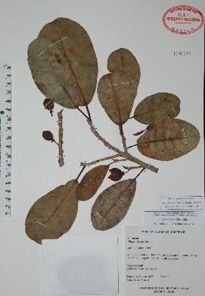 (Ficus trigonata - Alvarez4211)  @11 [ ] Unspecified (default): All Rights Reserved  Unspecified Unspecified