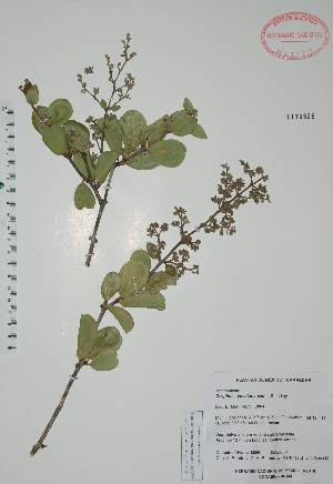 (Ziziphus yucatanensis - Alvarez8956)  @11 [ ] Unspecified (default): All Rights Reserved  Unspecified Unspecified
