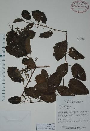 (Cissus sicyoides - Mtz29156)  @11 [ ] Unspecified (default): All Rights Reserved  Unspecified Unspecified