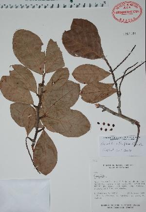 (Coccoloba reflexiflora - Mtz29242)  @11 [ ] Unspecified (default): All Rights Reserved  Unspecified Unspecified