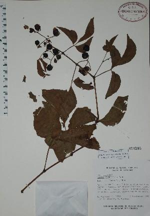 (Cissus rhombifolia - Mtz29792)  @11 [ ] Unspecified (default): All Rights Reserved  Gerardo Salazar 2010 Unspecified