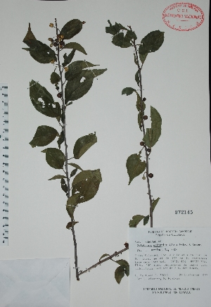 (Colubrina elliptica - Mtz30013)  @11 [ ] Unspecified (default): All Rights Reserved  Unspecified Unspecified