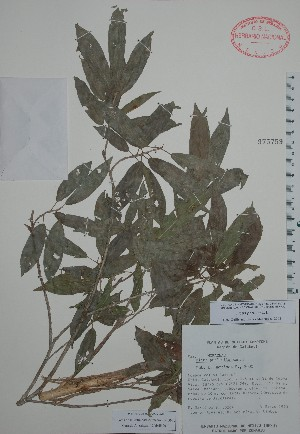 (Ficus padifolia - Mtz30264)  @11 [ ] Unspecified (default): All Rights Reserved  Unspecified Unspecified