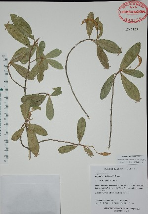 (Capparis indica - Mtz35908)  @11 [ ] Unspecified (default): All Rights Reserved  Grerardo Salazar 2010 Unspecified
