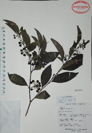 (Solanum nudum - Mtz35934)  @11 [ ] Unspecified (default): All Rights Reserved  Unspecified Unspecified