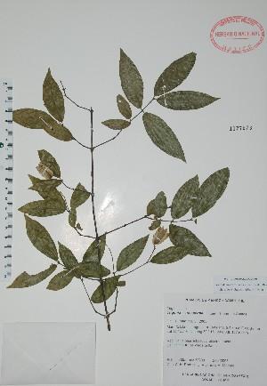 (Trigoniaceae - Mtz38209)  @11 [ ] Unspecified (default): All Rights Reserved  Unspecified Unspecified