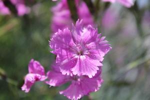 (Dianthus gratianopolitanus - UNKAR3620)  @11 [ ] CreativeCommons - Attribution Non-Commercial Share-Alike (2015) Thomas Horn Karlsruhe Institute of Technology, Botanical Garden