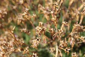 (Dianthus deltoides - UNKAR7134)  @11 [ ] CreativeCommons - Attribution Non-Commercial Share-Alike (2015) Thomas Horn Karlsruhe Institute of Technology, Botanical Garden
