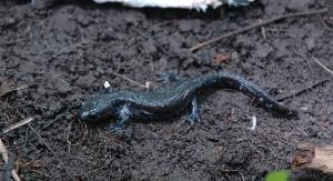 (Ambystoma laterale-jeffersonianum complex - MAS094-06)  @14 [ ] Unspecified (default): All Rights Reserved  Unspecified Unspecified