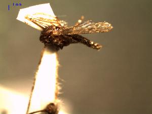 (Coquillettidia nigricans - MACN-Bar-Ins-ct 04643)  @12 [ ] Copyright (2012) MACN MACN
