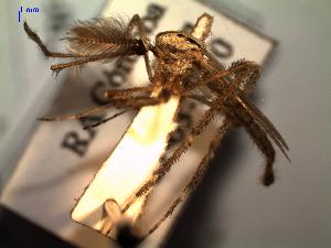 (Psorophora - MACN-Bar-Ins-ct 04752)  @14 [ ] Copyright (2012) MACN MACN