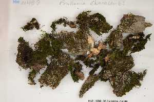 (Frullania eboracensis - Robillard_EMPM27_CAN)  @11 [ ] Copyright (2012) Canadian Museum of Nature Canadian Museum of Nature