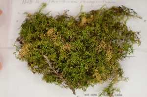 (Thuidiaceae - Robillard_EMPM30_CAN)  @13 [ ] Copyright (2012) Canadian Museum of Nature Canadian Museum of Nature