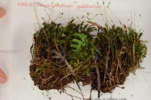 (Polytrichopsida - Robillard_EMPM31_CAN)  @13 [ ] Copyright (2012) Canadian Museum of Nature Canadian Museum of Nature