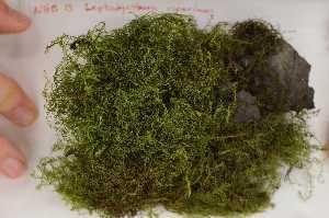 (Amblystegiaceae - Robillard_EMPM32_CAN)  @14 [ ] Copyright (2012) Canadian Museum of Nature Canadian Museum of Nature