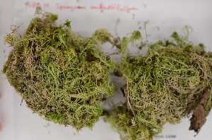 (Sphagnum angustifolium - Robillard_EMPM33_CAN)  @11 [ ] Copyright (2012) Canadian Museum of Nature Canadian Museum of Nature
