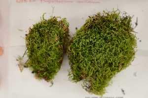 (Plagiotheciaceae - Robillard_EMPM39_CAN)  @14 [ ] Copyright (2012) Canadian Museum of Nature Canadian Museum of Nature