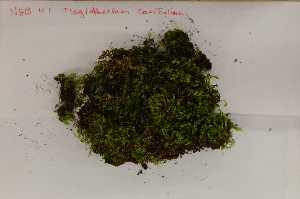 (Leskeaceae - Robillard_EMPM53_CAN)  @12 [ ] Copyright (2012) Canadian Museum of Nature Canadian Museum of Nature