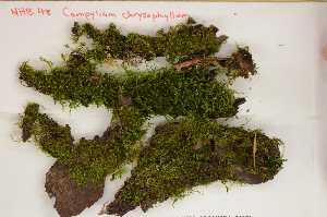 (Campylium - Robillard_EMPM68_CAN)  @12 [ ] Copyright (2012) Canadian Museum of Nature Canadian Museum of Nature