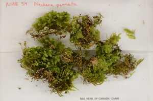 (Neckeraceae - Robillard_EMPM74_CAN)  @13 [ ] Copyright (2012) Canadian Museum of Nature Canadian Museum of Nature
