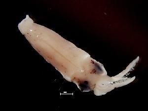 ( - Loliginidae 4_G2NAP)  @13 [ ] CreativeCommons - Attribution Non-Commercial Share-Alike (2011) Alvaro Roura Instituto de Investigaciones Marinas