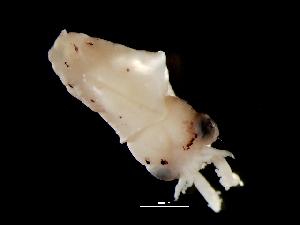 ( - Loliginidae 53_G2NAP)  @13 [ ] CreativeCommons - Attribution Non-Commercial Share-Alike (2011) Alvaro Roura Instituto de Investigaciones Marinas