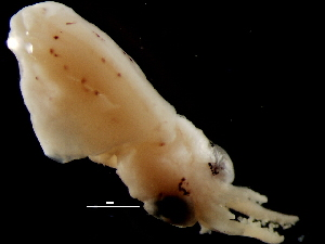 ( - Loliginidae 74_G2NAP)  @13 [ ] CreativeCommons - Attribution Non-Commercial Share-Alike (2011) Alvaro Roura Instituto de Investigaciones Marinas
