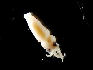 ( - Loliginidae 99_G2NAP)  @13 [ ] CreativeCommons - Attribution Non-Commercial Share-Alike (2011) Alvaro Roura Instituto de Investigaciones Marinas