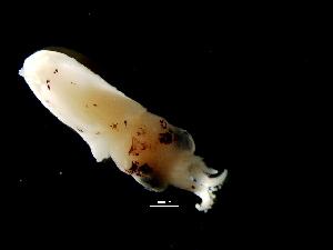 ( - Loliginidae B 3_S16PAN)  @13 [ ] CreativeCommons - Attribution Non-Commercial Share-Alike (2011) Alvaro Roura Instituto de Investigaciones Marinas