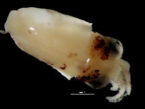 ( - Loliginidae B 6_S16PAN)  @13 [ ] CreativeCommons - Attribution Non-Commercial Share-Alike (2011) Alvaro Roura Instituto de Investigaciones Marinas