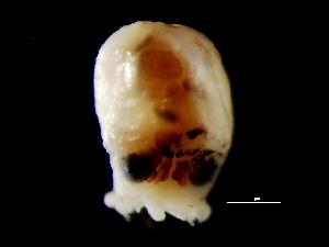 ( - Octopus vulgaris 5_S7PON)  @12 [ ] CreativeCommons - Attribution Non-Commercial Share-Alike (2011) Alvaro Roura Instituto de Investigaciones Marinas