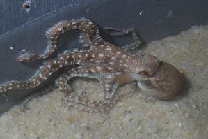 (Callistoctopus - CREEFS 9707)  @15 [ ] Copyright (2009) Julian Finn Museum Victoria