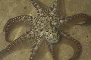(Octopus cyanea - CREEFS 9712)  @11 [ ] Copyright (2009) Julian Finn Museum Victoria