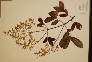 (Gillbeea - CNS_CC_x02_G12)  @11 [ ] Copyright (2010) Australia Tropical Herbarium CSIRO, Queensland Government and James Cook University