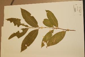 (Phaleria clerodendron - CNS_CC_x02_G9)  @11 [ ] Copyright (2010) CSIRO, Queensland Government and James Cook University CSIRO, Queensland Government and James Cook University
