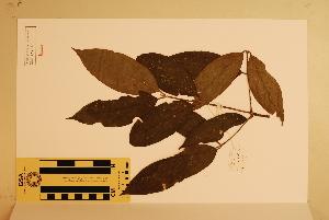 (Atherospermataceae - CNS_CC_x01_D3)  @11 [ ] Copyright (2010) CSIRO, Queensland Government and James Cook University CSIRO, Queensland Government and James Cook University