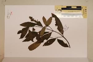 (Ficus crassipes - CNS_CC_6076_H2)  @11 [ ] Copyright (2010) CSIRO, Queensland Government and James Cook University CSIRO, Queensland Government and James Cook University